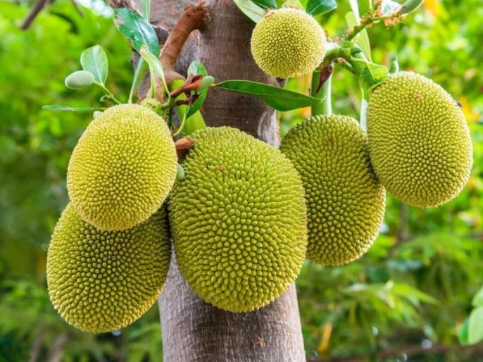 Health benefits of eating jackfruit in hindi, benefits of jackfruit for skin | गठिया, दिल के रोग, एनीमिया, अस्थमा जैसी कॉमन मगर गंभीर बीमारियों का इलाज है ये कांटेदार सब्जी, जानें पूरे 7 फायदे