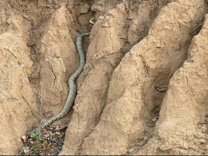 for the very first time king cobra sightes near kolar forest in himachal pradesh sirmour | हिमाचल प्रदेश में पहली बार दिखा किंग कोबरा, वीडियो हुआ वायरल, देखकर आप भी होंगे हैरान