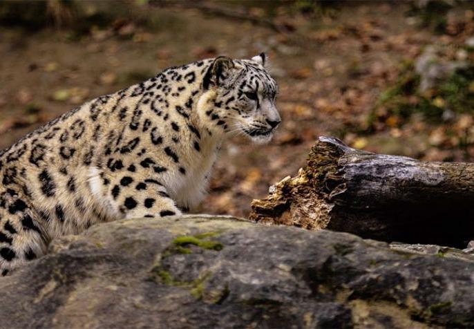 in Maharashtra residential area entered Leopards attacked the person video viral | महाराष्ट्र में रिहायशी इलाके में घुसे तेंदुए ने किया शख्स पर हमला, सीसीटीवी में कैद हुआ पूरा मामला
