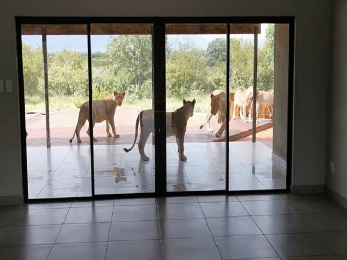 South Africa homeowner find six lion outside home as he opens door viral video   कपल ने खोला दरवाजा तो घर के सामने बैठे थे 6 शेर, हैरान कर देने वाला वीडियो वायरल
