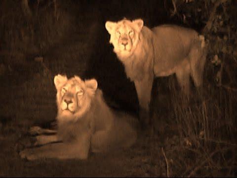 Blog: Crisis on the King of the Jungle in Gujarat 23 gir lion died in last supreme court raised concern | गुजरात में जंगल के राजा पर संकट, पिछले 22 दिनों में हुई 23 शेरों की मौत, सुप्रीम कोर्ट भी चिंतित
