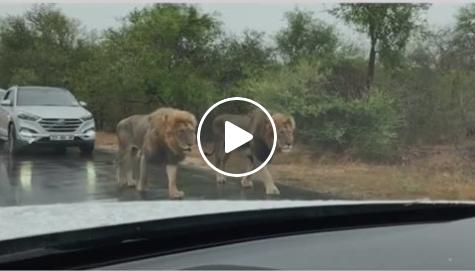 4 lions walking on busy road in south africa, watch this viral video | VIDEO: अचानक सड़क पर आ गए 4 बब्बर शेर, डर के मारे लोगों की थम गई सांसें