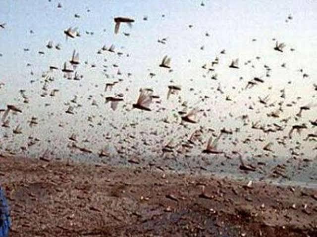 DGCA issues guidelines for Pilots Aircraft Engineers to deal locust swarms   टिड्डी दल से विमानों के उड़ान भरने, लैंड करने में परेशानी, डीजीसीए ने जारी किए जरूरी निर्देश
