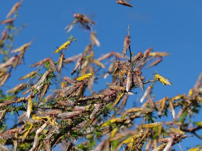 Pramod Bhargava's blog Not only birds grasshoppers and other pests also migrate   प्रमोद भार्गव का ब्लॉगः सिर्फ पक्षी ही नहीं, टिड्डी और अन्य कीट भी करते हैं प्रवास