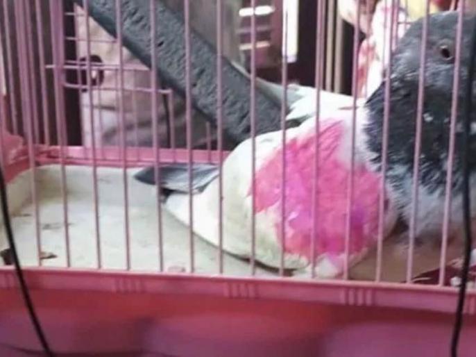 Pakistan's spy pigeon gets freedom, could not prove his 'crime' | पाकिस्तान के जासूस कबूतर को मिली आजादी, नहीं हो सका उसका 'अपराध' साबित