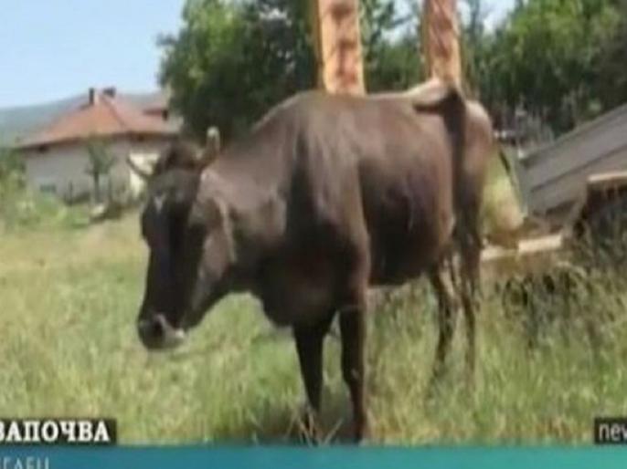 viral news pregnant Bulgarian cow penka become international news after she crossed border | बुल्गारिया की ये गाय बन गई इंटरनेशनल सेलेब्रिटी, वजह जानकर हैरान रह जाएंगे आप