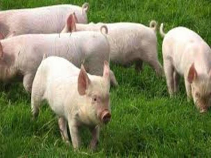 Woman eaten alive by pigs after suffering seizure on Russian farm | OMG! बाड़े में खाना खिलाने गई थी महिला, पालतू सुअरों ने खा लिया जिंदा