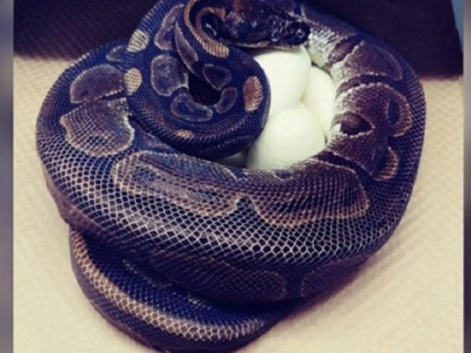 America ball python lays eggs without being around any male for decade | नर से कई सालों से मिलन नहीं फिर भी मादा अजगर ने दिए 7 अंडे, चिड़ियाघर के अधिकारी हैरान, जानिए पूरा मामला