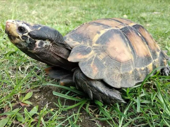 haryana Fatehabadsoftshell turtles village kajalheritrying to save rare species | हरियाणा में दुर्लभ प्रजाति के कछुओं को बचाने में लगा है पूरा गांव, जानें इसके बारे में