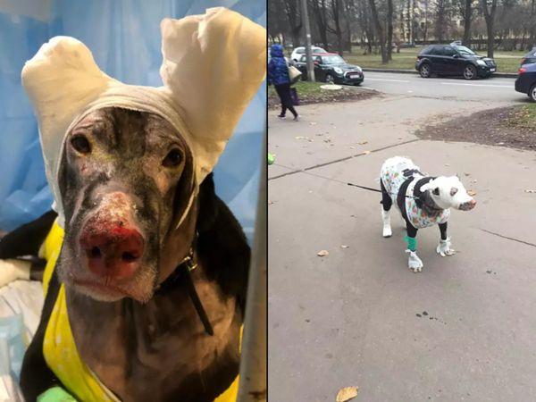 Pregnant Dog saved the lives of 4 patients after a fire in a hospital in Russia, now babies will not be able to drink milk due to burns   गर्भवती कुतिया ने रूस के अस्पताल में आग लगने के बाद बचाई 4 मरीजों की जान, अब जलने के कारण बच्चों को नहीं पिला सकेगी दूध