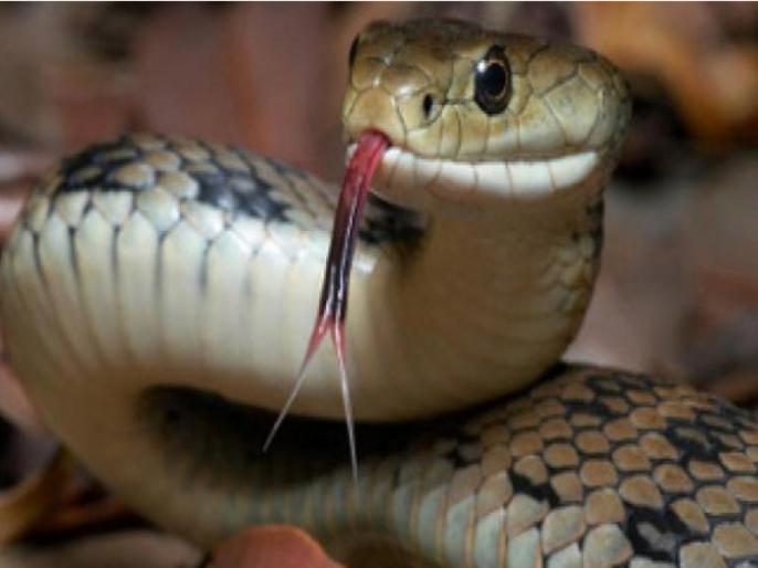 Madhya Pradesh waraseoni Snake bite kills three people same family including two brothers sleeping hut | सांप काटने से झोपड़ी में सो रहे दो भाइयों सहित एक ही परिवार के तीन लोगों की मौत