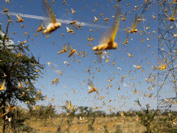 locusts attack video A swarm of locusts was seen in Bikaner city yesterday | Tiddi Dal Attack: टिड्डियों ने किया भीषण हमला, घरों में कैद हुए लोग.. सामने आया डरा देने वाला वीडियो