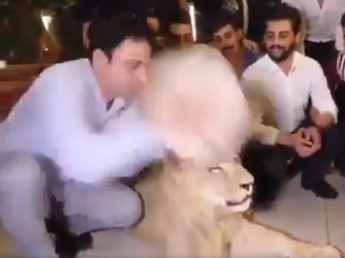 The cake used on the lion's mouth on birthday | बर्थ डे पर शेर के मुंह पर लगाया केक, सोशल मीडिया पर लोगों के ऐसे आए रिएक्शन