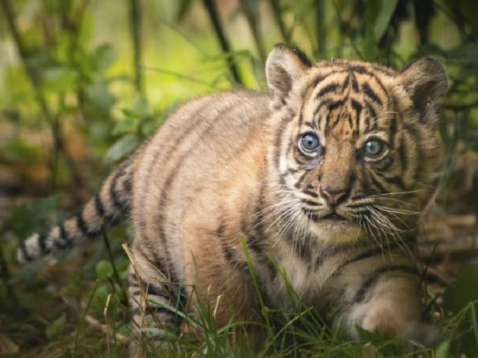 France cat was bought online shopping paying 5 lakh rupees but tiger cub was delivered   5 लाख रुपये देकर ऑनलाइन खरीदी थी बिल्ली, बॉक्स खोला तो निकला बाघ का बच्चा, जानिए पूरा मामला