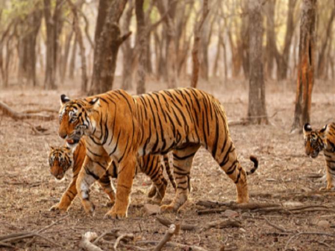 Madhya Pradesh: Tigress found dead in Panna Sanctuary, fifth body found in nine days | मध्य प्रदेश के पन्ना अभयारण्य में मृत पाई गई 6 साल की बाघिन, 9 दिन में मिला पांचवां शव
