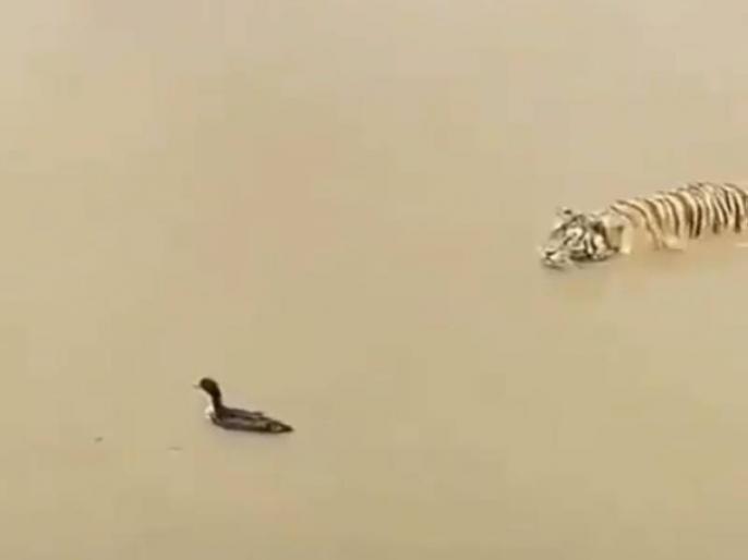 in a lake tiger going to hunting a duck it fooled see tiger reaction video viral on internet | बत्तख ने शिकार करने आ रहे बाघ को ऐसे बनाया बेवकूफ, वीडियो देख आपको भी आ जाएगी हंसी