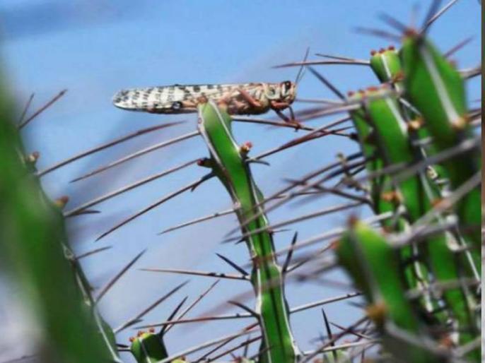 in Jaipur Locust seen in some residential areas spoiling trees | जयपुर के कुछ रिहायशी इलाकों में दिखीं टिड्डियां, खेतों में फसल ना होने कारण पेड़ को कर रही खराब