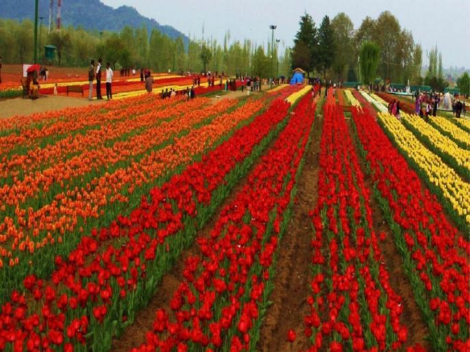 jammu and kashmir: tulip garden will open march end | J&K: इस महीने के अंत में खुलेगा एशिया का सबसे बड़ा ट्यूलिप गार्डन, नए लुक में आएगा नजर