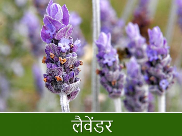 5 plants which prevents you from malaria, chikungunya mosquitoes naturally |
