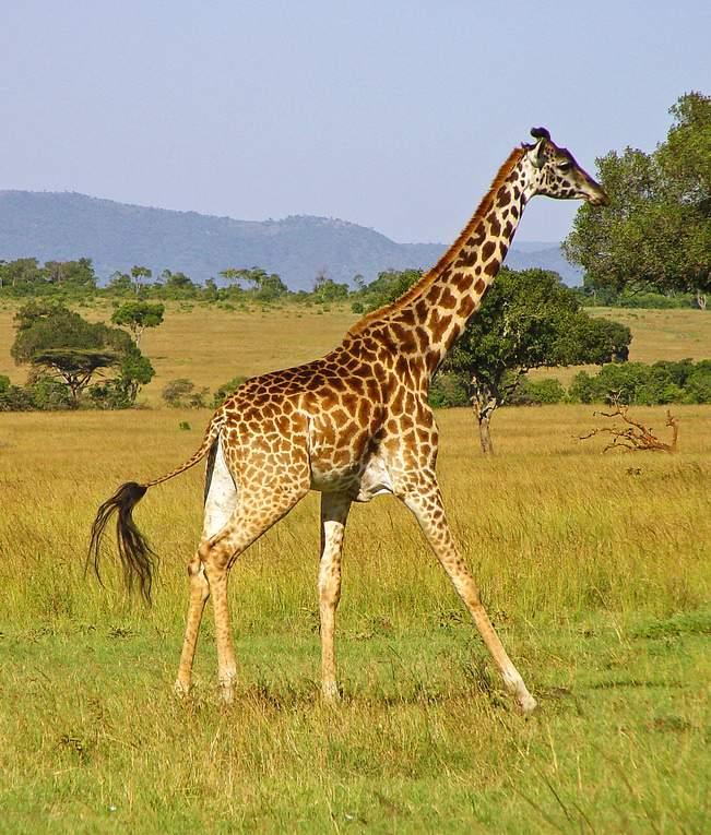 (World Giraffe Day Special) Tallest Terrestrial Animal ...